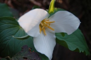 Trillium's are blooming all through the woodlands.