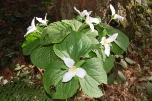 B. A clump of Trillium showing their white color before turning.