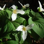 Trilliums are blooming all through the woods.